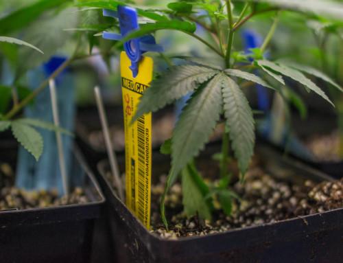 Investire nella cannabis. Conviene?